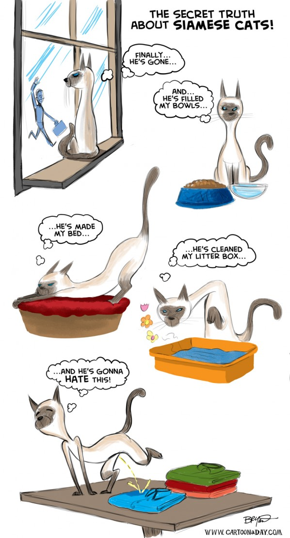 Bad Kitty The Truth About Siamese Cats